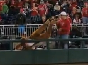 Bullee the Moose takes out our cameraman Luis Albisu - Washington Nationals presidents race